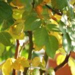 葉が黄色くなり枯れる 葉が黄色くなる原因と対策