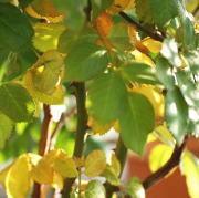 黄色くなる葉