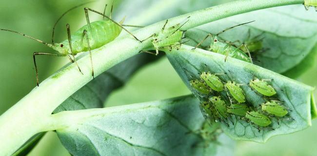 植物の害虫