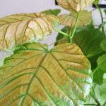 葉の表面が褐色や黒くなる
