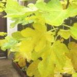 下葉から黄色くなり枯れる